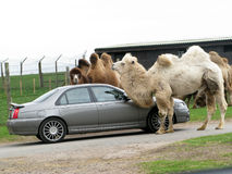 Couple of camel with car Royalty Free Stock Photos