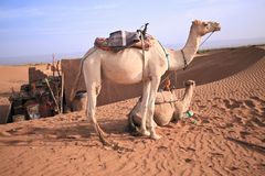 Couple of camels in Sahara. Royalty Free Stock Images