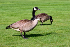 Couple of canada geese feeding. On a fresh green grass field Stock Photo
