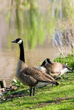 Couple of Canada geese at the waterside Royalty Free Stock Images