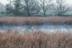 Couple of Canada goose on misty swamp Stock Image