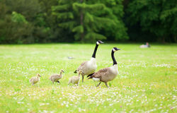 Couple of Canadian geese with goslings Royalty Free Stock Image