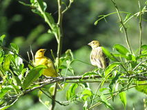 A couple Canary. Yellow birds- on branches and leaves in love and sunny day stock photos