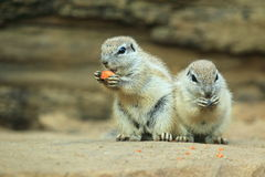Couple of cape ground squirrels Stock Photography