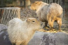 Couple of capybaras in the winter sunlight at sunset. Stock Photography