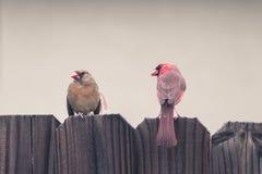 Couple cardinal Imagen de archivo