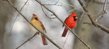 Couple of cardinal. In forest royalty free stock image