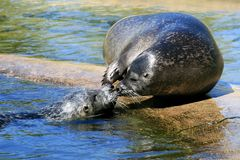 A couple of caressing seals Royalty Free Stock Photography