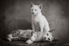 Couple of cat. A couple of domestic cat,in black and white Royalty Free Stock Photography