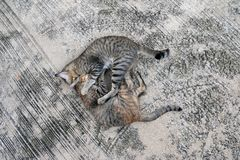 Couple cat hug with love, on the gray mortar floor. A small domesticated carnivorous mammal with soft fur, a short snout, and retractile claws Stock Photo