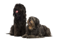 Couple of Catalan sheepdogs being together, panting. Isolated on white Royalty Free Stock Photo