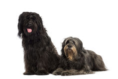 Couple of Catalan sheepdogs being together, panting. Isolated on white Royalty Free Stock Image