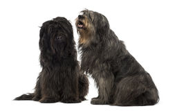 Couple of Catalan sheepdogs sitting together, panting Royalty Free Stock Image