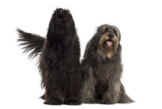 Couple of Catalan sheepdogs together barking and panting. Isolated on white Royalty Free Stock Photography