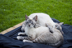 Couple of cats Royalty Free Stock Photos