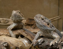 Couple of Central Bearded Dragon Royalty Free Stock Image