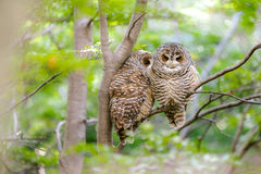 Couple of Chaco Owls - Torres del Paine - Chile Stock Photo