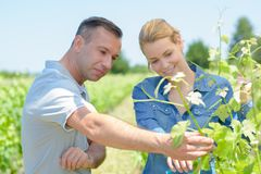 Couple checking grape vines royalty free stock photos