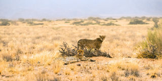A couple of cheetah Stock Images