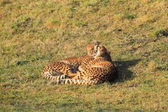 Couple of cheetahs Royalty Free Stock Image