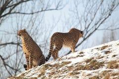 Couple of cheetahs Stock Photo