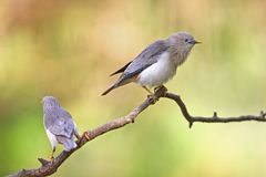 Couple of Chestnut-tailed Starling Royalty Free Stock Photo