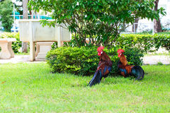 Couple of chicken bantam. Couple of chicken bantam on nature background royalty free stock photo