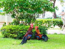 Couple of chicken bantam. On nature background stock photo