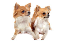 Couple of chihuahua Stock Photos