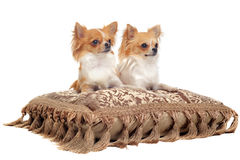 Couple of chihuahua Royalty Free Stock Images