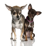 Couple of chihuahua (8 months and 19 months old) stock photo