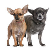 Couple of chihuahua Stock Photo