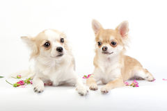 Couple of chihuahua dogs lying on white. Background with rose petals Stock Images