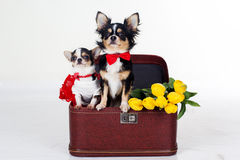 Couple of chihuahua dogs with yellow flowers and red heart Stock Photo