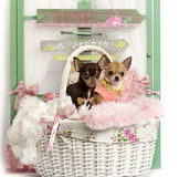 Couple of Chihuahua puppy in front of a rustic background Royalty Free Stock Images