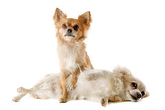 Couple of chihuahuas Stock Photography