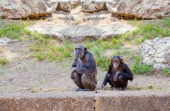 Couple of chimpanzees Royalty Free Stock Images