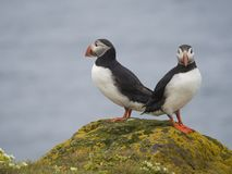 Couple of close up Atlantic puffins Fratercula arctica standing on rock of Latrabjarg bird cliffs, white flowers, blue sea backg stock photo