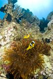 Couple of clownfish with their anemone. Stock Image