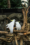 Couple cockatoo Royalty Free Stock Photo