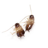 Couple of cockroaches isolated on white. Couple of dead cockroaches isolated on white background Stock Photography