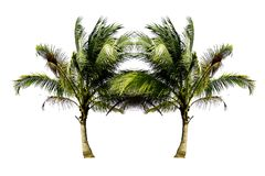 Couple of the Coconut trees growing up on the beach isolated on white background. Couple of Coconut trees growing up on the beach isolated on white background stock images