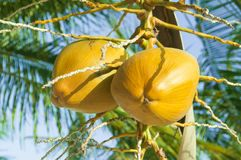 A couple of coconuts in a palm. A bunch, a couple of ripe coconuts hanging from the coconut palm sunlit in warm sunshine Royalty Free Stock Photography
