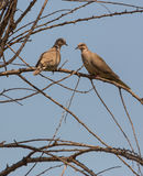 A couple of Collared Doves. (Streptopelia turtur) perches on dry tree in a composition of lights and shadows during the late evening sun Royalty Free Stock Image