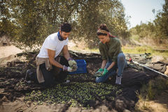 Couple collecting olives at farm during sunny day. Young couple collecting olives at farm during sunny day Stock Image