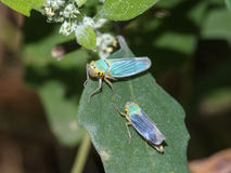 Couple of colored leafhoppers Royalty Free Stock Image