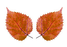 Couple of colorful leaf Stock Photography