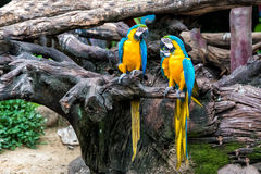 A couple of colorful macaw parrot on tree branch Royalty Free Stock Images