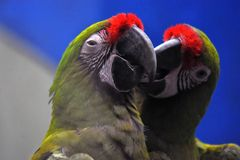 A couple of colorful parrots. Blue colorful background. Beauty of nature stock photography