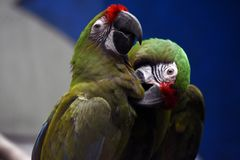 A couple of colorful parrots. Blue colorful background. Beauty of nature royalty free stock image